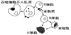 下图为人体体液免疫的部分过程,下列相关叙述中错误的是