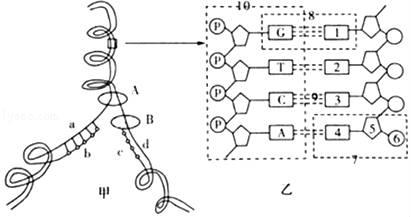 如图甲图中DNA分子有a和d两条链,将甲图中某一片段放大后如乙图所示,结合所学知识回答下列问题